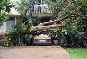 Very large tree that has fallen over onto a car during a storm